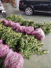 嵊州長葉香橙批發市場圖片