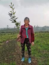 杭州长叶香橙种植技术图片