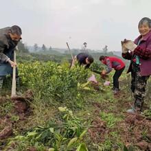 惠州長葉香橙種苗價格圖片