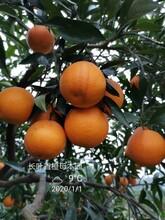 滁州长叶香橙种苗批发图片