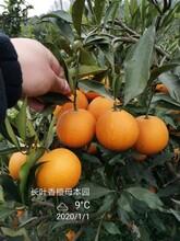 温州长叶香橙果苗种植图片