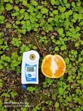 株洲长叶香橙出售图片