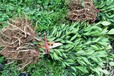 莆田長葉香橙種植基地