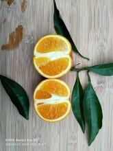 曲靖長葉香橙供應圖片