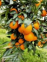 韶關長葉香橙果苗圖片