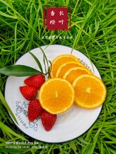 汕头长叶香橙供应商图片
