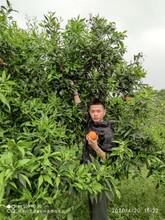 合肥農家樂果園采摘圖片