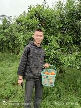 漳州農家樂果園采摘圖片