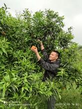 深圳農家樂橙子采摘圖片