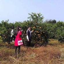 綿陽農家樂橙子采摘圖片
