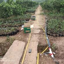 徐州長葉香橙種苗銷售圖片