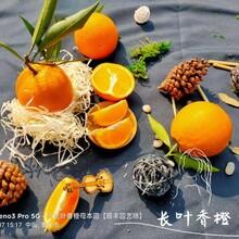 福建長葉香橙果苗基地圖片