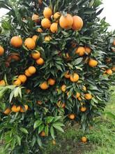 湖南長葉香橙果苗圖片