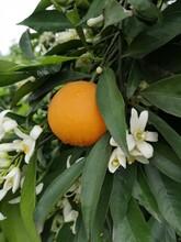 株洲長葉香橙果苗種植圖片
