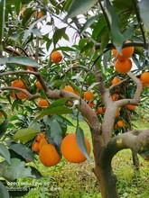 寧德長葉香橙果苗批發圖片