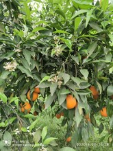 邵陽長葉香橙成活率高圖片