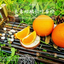 揚州長葉香橙果苗種植圖片