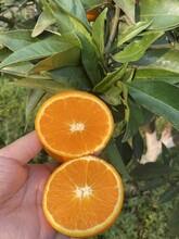 嘉興長葉香橙種植基地圖片
