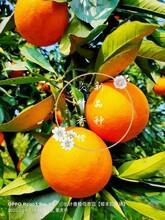 普洱長葉香橙基地圖片