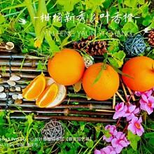江蘇長葉香橙果苗圖片