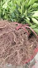 湖南長葉香橙品種圖片