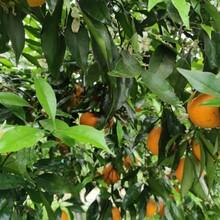 長葉香橙苗圖片