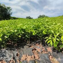 珠海長葉香橙種苗圖片
