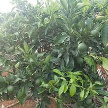 山東長葉香橙供貨商圖片