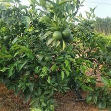 泰安長葉香橙種植基地圖片