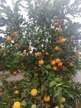 周口長葉香橙報價圖片