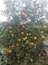 錦州長葉香橙供貨商圖片