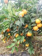 梧州長葉香橙批發圖片