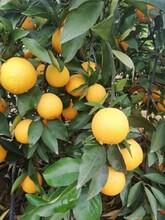攀枝花長葉香橙基地批發圖片