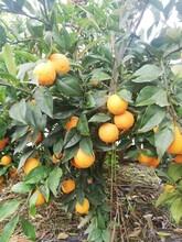 景德鎮長葉香橙基地批發圖片