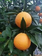 德陽長葉香橙批發圖片