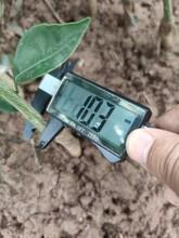 梧州長葉香橙產量圖片