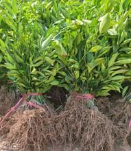 宜賓長葉香橙產量圖片