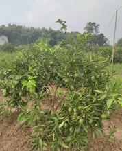 寧波長葉香橙品種砧木圖片