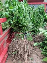 合肥長葉香橙果子20一斤圖片