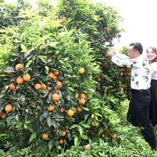 上海長葉香橙果子價格圖片