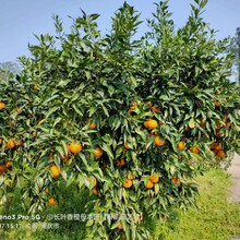 瀏陽長葉香橙母本園接穗圖片
