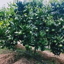 梅州長葉香橙枝條圖片