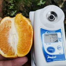 洪江長葉香橙零售采摘價圖片