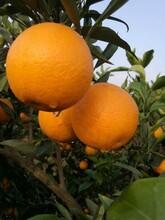 福安長葉香橙枝條圖片