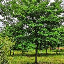 20公分榉树价格_6-30公分榉树报价_精品榉树_江苏榉树