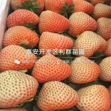 九香草莓苗基地出售图片