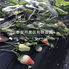 2019年章姬草莓苗报价图片