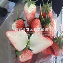 山东太空2008草莓苗、山东太空2008草莓苗批发基地图片