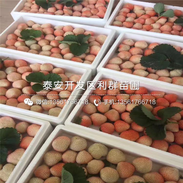 哪里有小白草莓苗批发、2019年小白草莓苗多少钱一棵