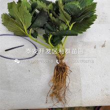 四季草莓(mei)苗批發價格圖片